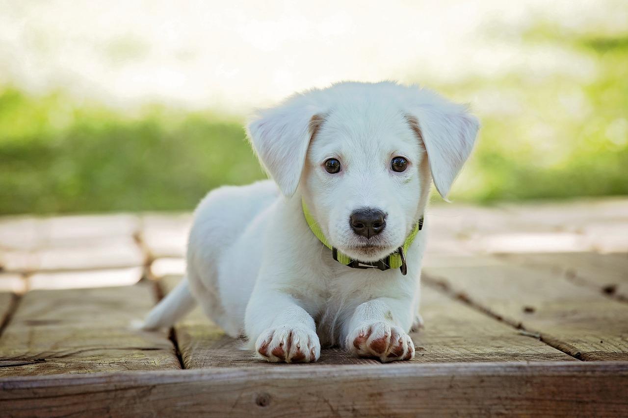 czipowanie psów